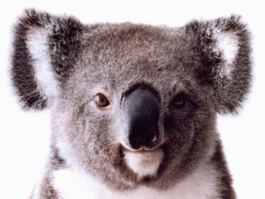 koala-full